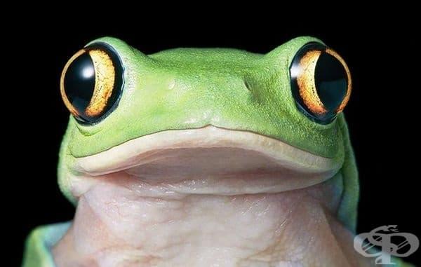 Оранжевоока дървесна жаба