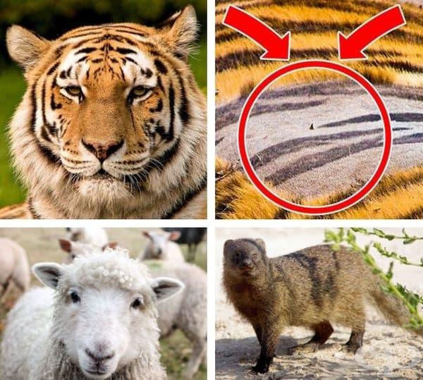 Тигрите имат райета на кожата под раираната си козина. Овцете могат да се самолекуват, хранейки се с лечебни растения. Мангустите назначават мангуст-пазител, който да следи, докато останалите играят или се предвижват.