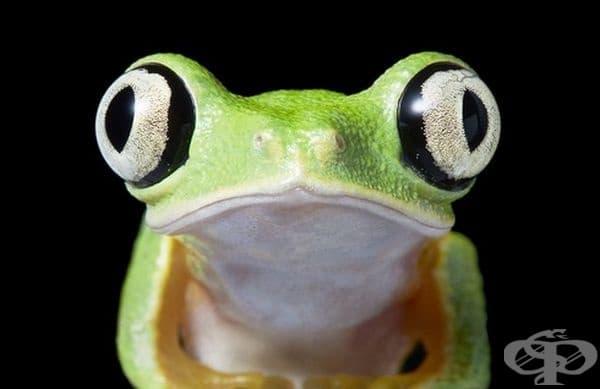 Agalychnis lemur е вид жаба от семейство Дървесници.