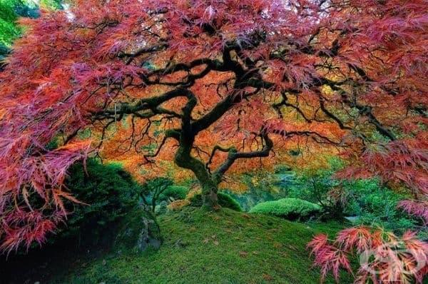 Японски клен, Орегон, САЩ.