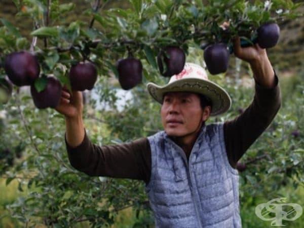 Само 30% от зрелите тези плодове отговарят на строги стандарти за съвпадение на цветовете. Следователно общото им производство е изключително ниско.