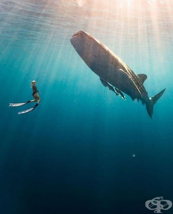 Ако понякога забравяте колко малки сме всъщност, можете да опитате да плувате с китовите акули на остров Derawan в Индонезия. Размерът на тези същества е колкото автобус. За щастие, китовите акули се хранят с планктони и нямат никакъв интерес към хората.