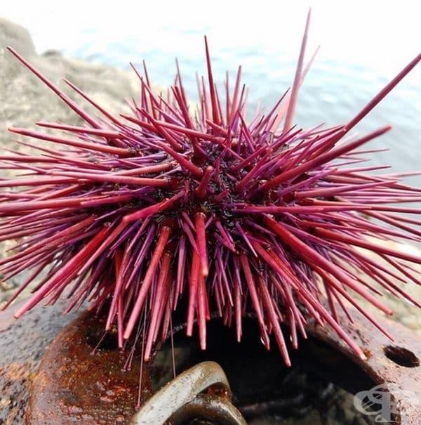 Червеният таралеж може да бъде открит по скалистите брегове на Тихия океан.Телата на тези видове са покрити с остри бодли, които им помагат да се предпазят,докато пълзят по дъното на океана.Те остаряват много бавно и затова някои екземпляри живеят до 200г