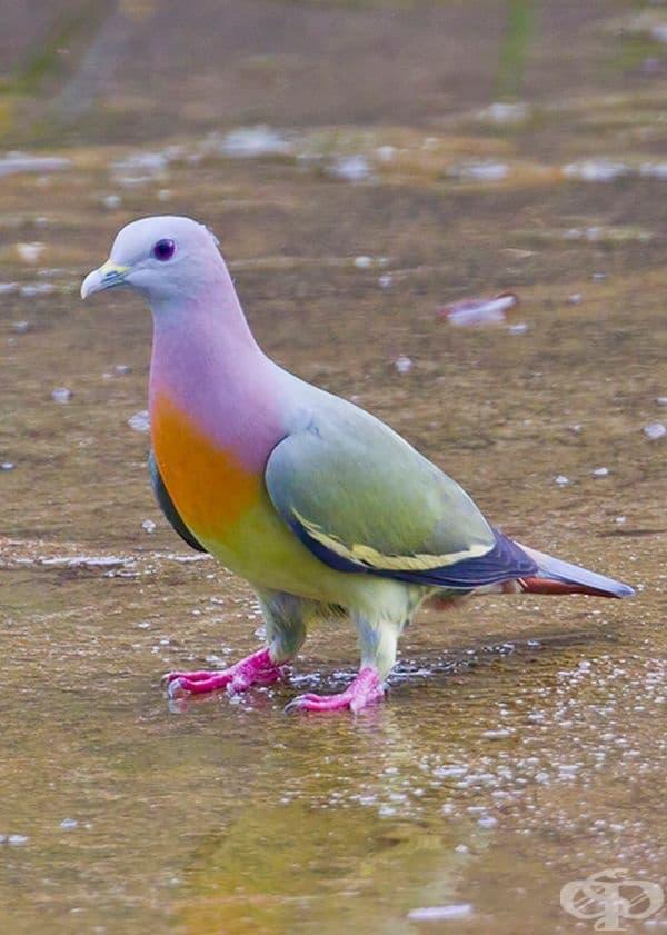 Цветен гълъб.