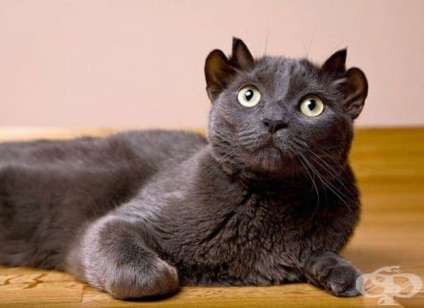 Допълнителните уши на Йода са прикрепени към основата на черепа му, като едните стоят зад другите. Смята се, че те са резултат от генетична мутация, безопасна за котката.