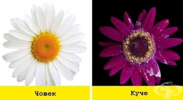 Цветята са красиви сами по себе си, но както се оказа, ултравиолетът може да отвори напълно нов аспект на красотата. Така че в очите на кучето дори една скучна лайка изглежда като космическо растение.
