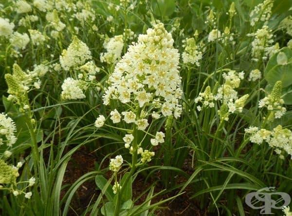 Toxicoscordion venenosum е разновидност на Toxicoscordion от семейства Melanthiaceae и е едно от най-отроните растения. Употребата на малко количество може да доведе до бърза смърт, вследствие на нарушена работа на органите и циркулация на кръвта.