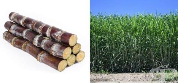 Захарната тръстика е трева. Макар и по-висока от обикновената трева, захарната тръстика е определена като трева.