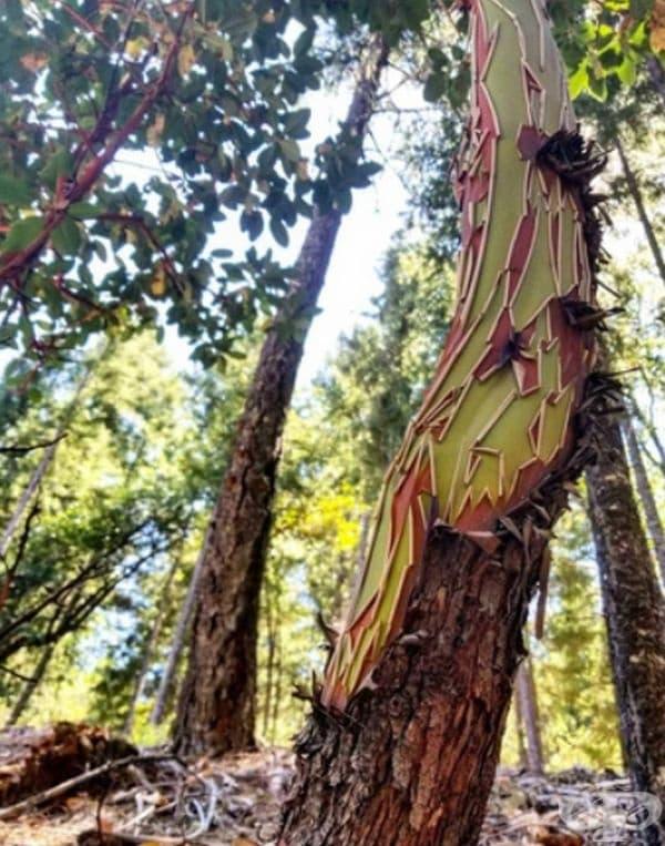 Изпепелявана кора от ягодово дърво изглежда като произведение на изкуството.