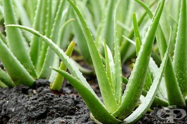 Алое вера. Освен известните ползи за здравето, растението допринася и за положителната енергия в дома и борбата с отрицателните вибрации.