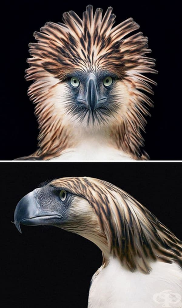 Филипински орел