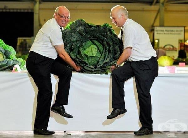 Членовете на журито на панаира в Йоркшър Дейв Елкок и Едрин Рийд държат 30 килограмова глава зеле, която е заела 1 място на изложението на гигантски зеленчуци.