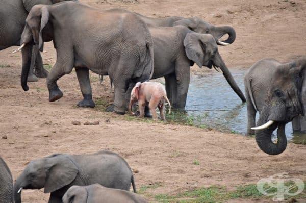 Според д-р Иън Уайт, специалист по големи тревопасни животни в парка Крюгер, дивите животни – албиноси се срещат много по-често, отколкото хората си мислят. За съжаление много от тях не оцеляват дълго.