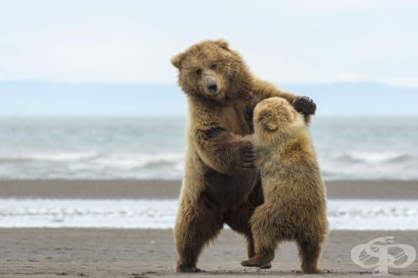 Мечките също могат да танцуват. Знаехте ли това?