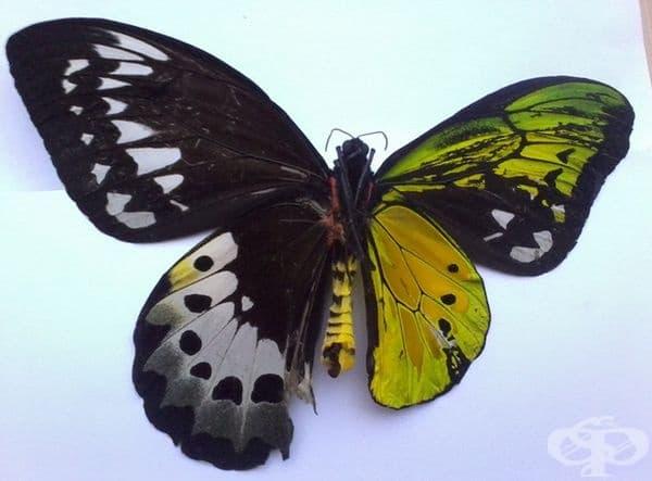 Тази пеперуда е двуполова: наполовина женска, наполовина мъжка.