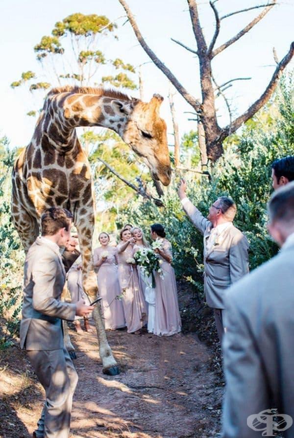 Всичко е било романтично и прекрасно, докато изведнъж не се появява истински жираф.