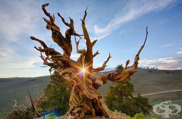 Зашеметяващ кадър на най-старото дърво в света.
