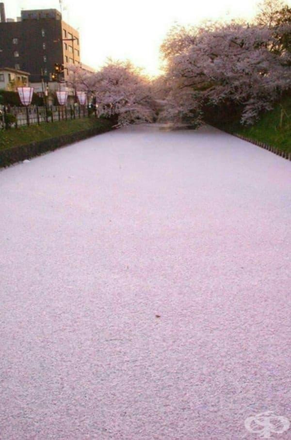 Река, покрита с цветове от черешови дървета.