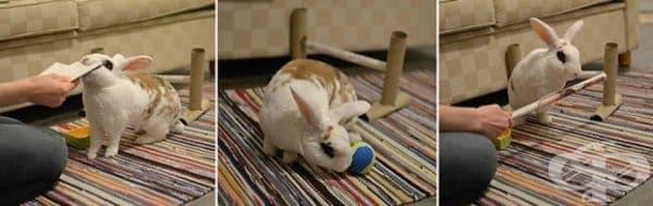 Той може да прескача препятствия, да гони топка, да се върти. За всяко упражнения Таави получава награда.