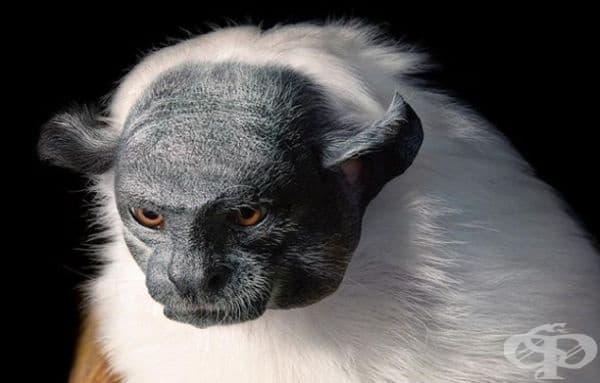 Един от най-застрашените видове малки маймуни в Амазонка - Pied Tamarin.
