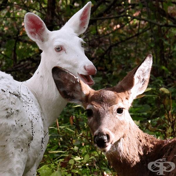 Обикновен елен и елен с албинизъм