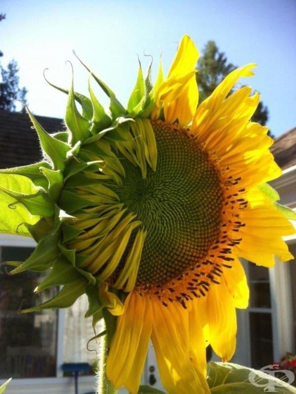 Дали слънчогледът е наполовина отворен или наполовина затворен?