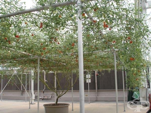През първите 7 - 8 месеца трябва да се отстранят плодовете, за да може да се формира стабилно стъбло.