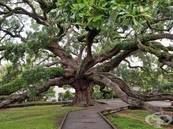 250-годишен дъб във Флорида.