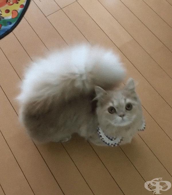 Тя е порода Наполеон - кръстоска между Персийска котка и Манчкин.