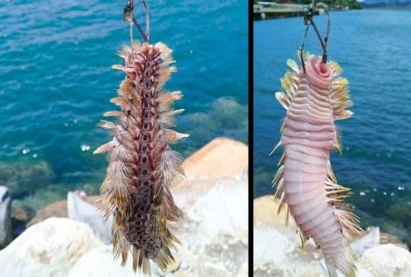 Полихетерен червей. Те живеят предимно в морските води и имат важна роля във функционирането на екосистемата.
