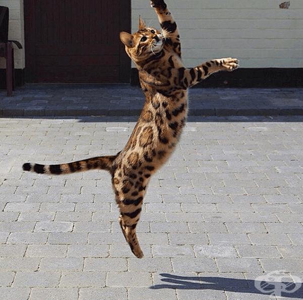 Запознайте се с Тор - най-красивата бенгалска котка в света!