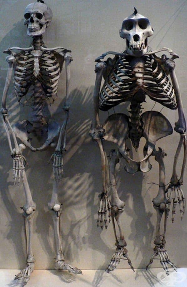 Човешки скелет до скелет на горила.
