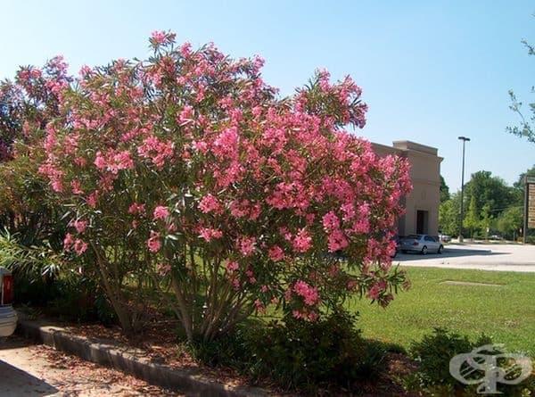 Олеандър, зокум – силно токсично дърво или храст. Отровни са листата, цветовете и сока на растението. Симптомите са диария, повръщане, конвулсии, кома, нестабилен импулс и дори смърт.