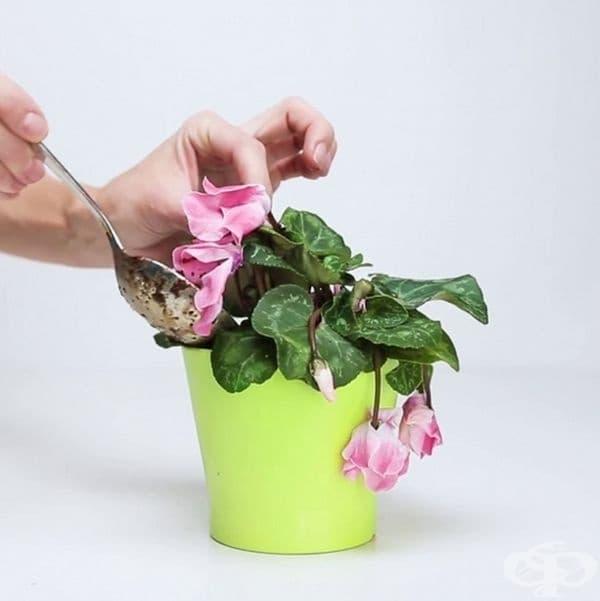 Получената смес поставете в саксията с увехналото растение.