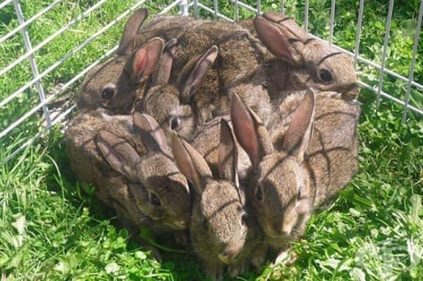 Идеална геометрична фигура от зайци.