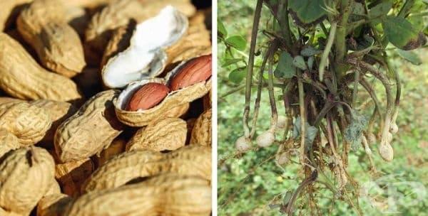 Фъстъците не са ядки, всъщност се считат за бобова култура. Ядките растат на дървета, докато фъстъците растат в шушулки под земята. Ботаниците класифицират фъстъците като бобови растения, което означава, че са от едно и също семейство като боба и граха.