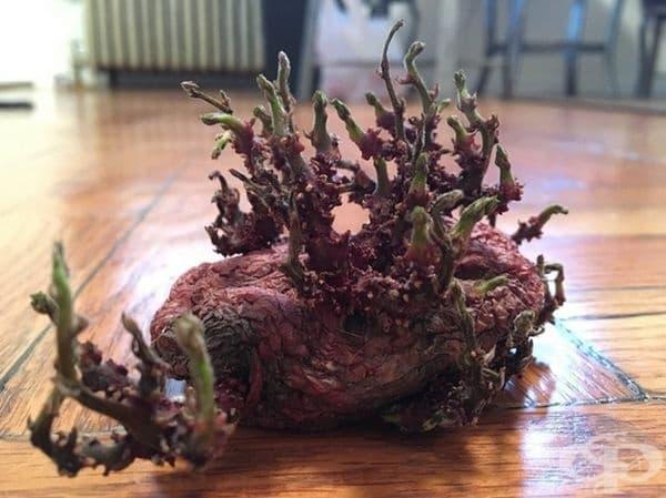 """""""Картофът, който открих под кухненската маса, прилича на извънземна гора."""""""
