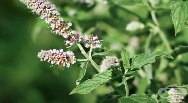 Джоджен. В допълнение към многото ползи за здравето, това растение отблъсква завистта на хората. Счита се, че привлича парите в дома.