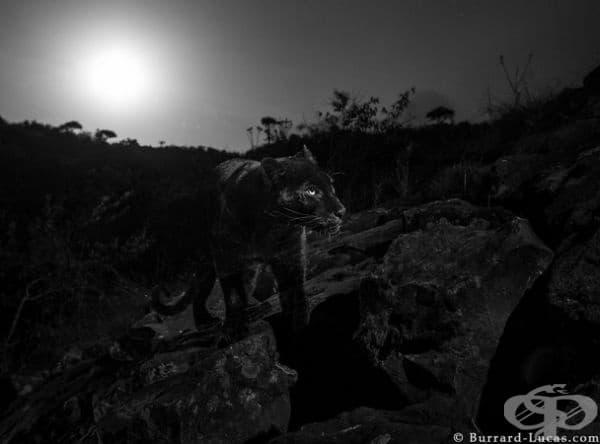 Техниката позволява да се създаде подобно на студио осветление, за да се направят впечатляващи изображения на животни и през нощта.