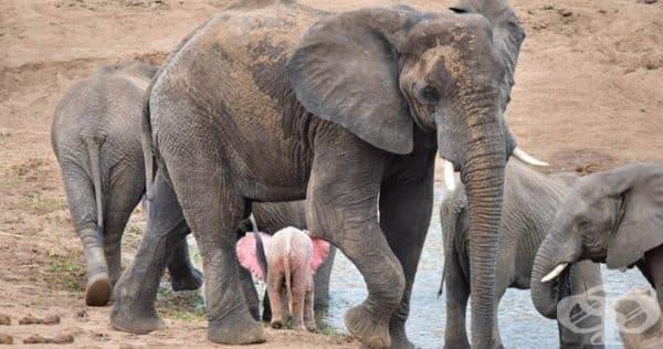 Към момента все още не е ясно дали бебето е истински албинос или бял слон, което също е рядкост. Нито една от снимките не предлага достатъчно ясен образ на очите на животното, за да се разбере дали са розови или не.