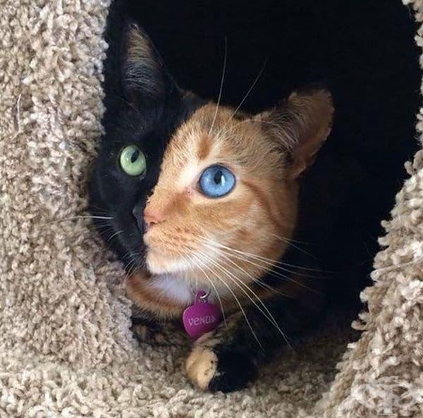 Котка с два цвята и две различни очи.