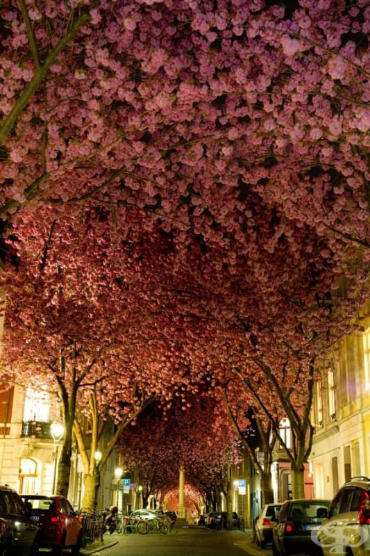 Черешови дървета в разцвет, Германия.