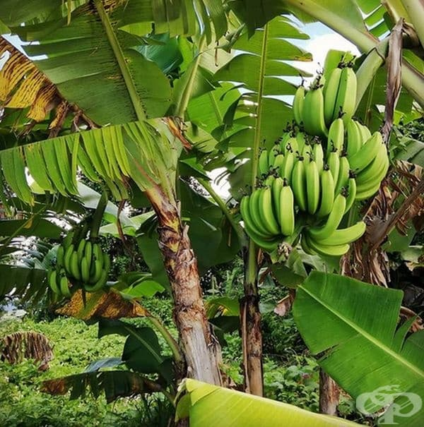 Бананите са извити, защото растат към небето. Бананите растат срещу гравитацията - нагоре, където има повече слънчева светлина - затова те са извити.