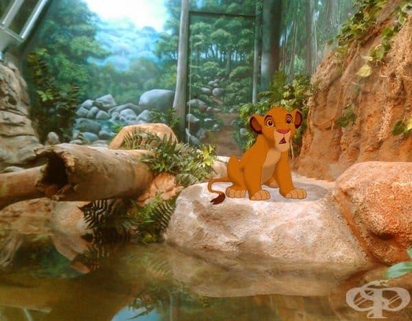 Животът на Симба е вече в зоопарка.