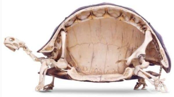 Разрез на скелет на костенурка.