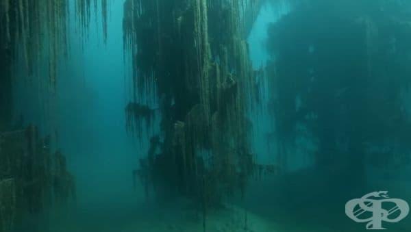 На повечето места потопените дървета бързо биха изгнили, но, поради специфичните условия на езерото, тези ели са се запазили в продължение на десетилетия.