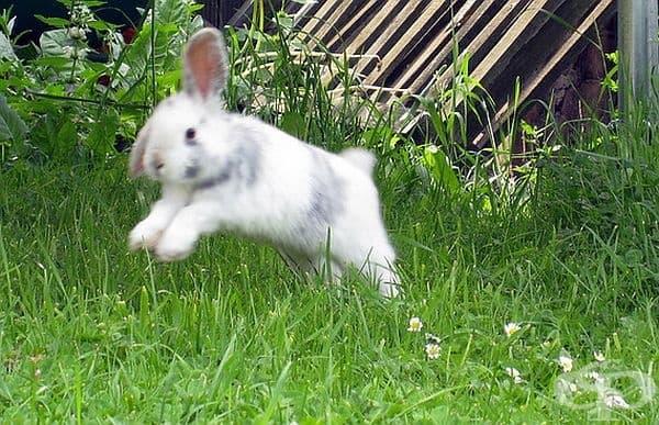 """Щастливите зайци обичат да скачат и да се въртят във въздуха. Този акт е известен и като """"бинки""""."""