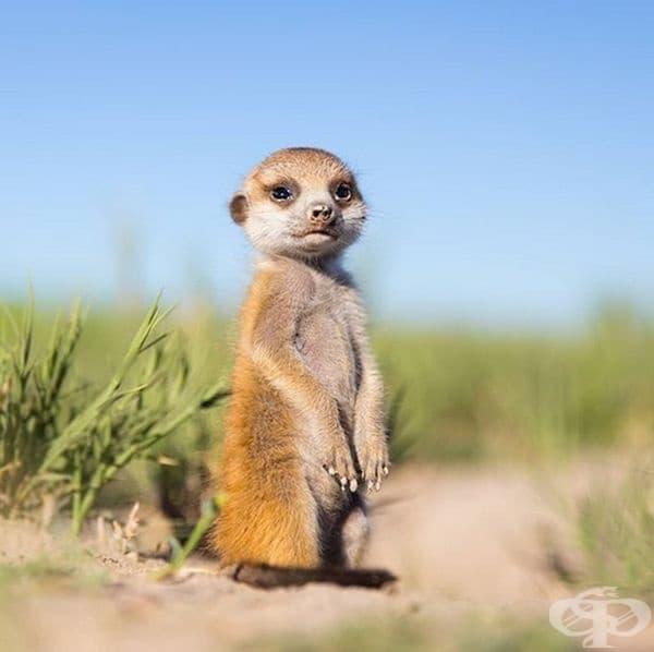 Южноафриканските мангусти имат много тънка кожа. Те се излагат на слънце, за да се затоплят след сън, да повишат телесната си температура и да не умрат.