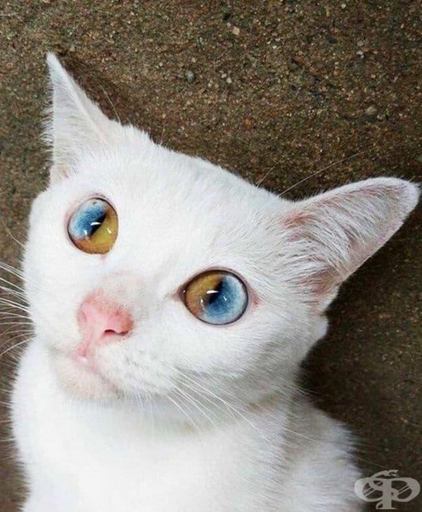 Бяло коте с двуцветни очи.