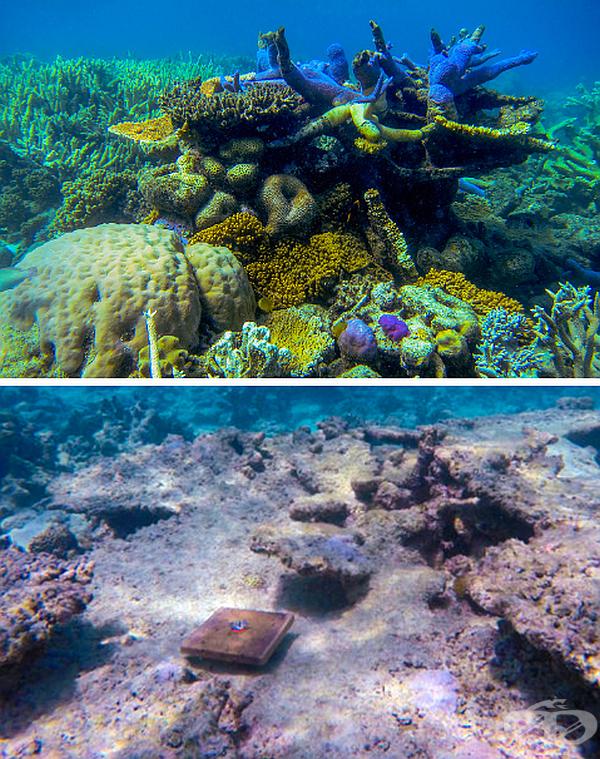 Климатичните промени са предизвикали 89% спад при появата на нови корали на Големия бариерен риф.